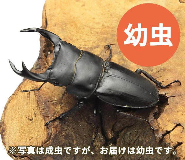 オオクワガタ幼虫 福島県喜多方市産 販売 通販 専門店 購入