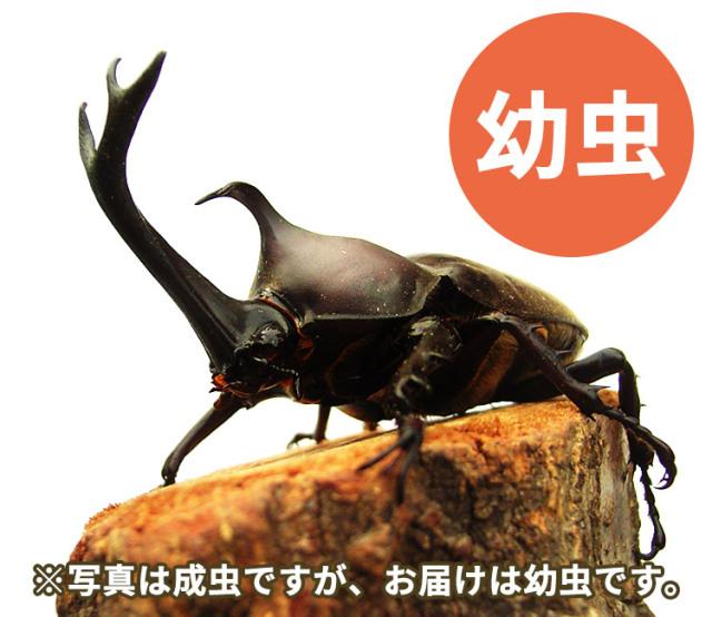 国産カブトムシ幼虫 販売 通販 専門店 購入