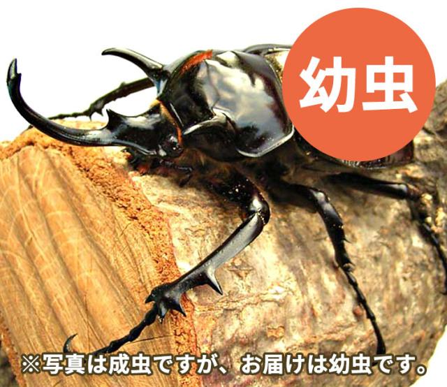 マルスゾウカブト幼虫 販売 通販 専門店 購入