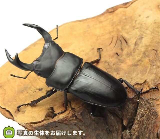 オオクワガタ 福島県産 販売 通販 専門店 購入