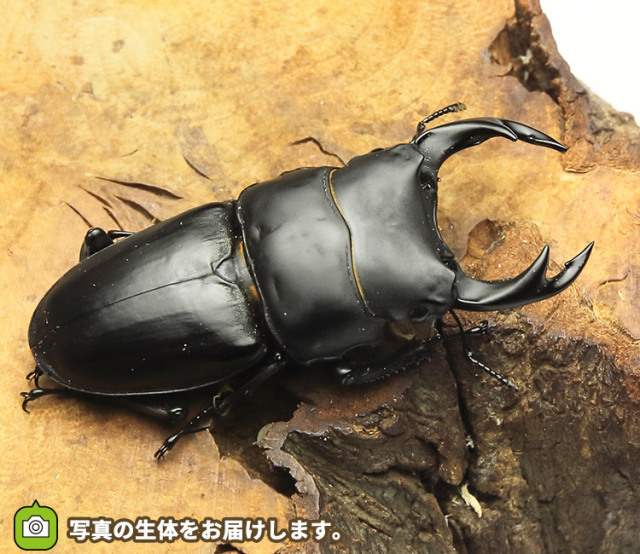 国産オオクワガタ 長野県産 販売 通販 専門店 購入