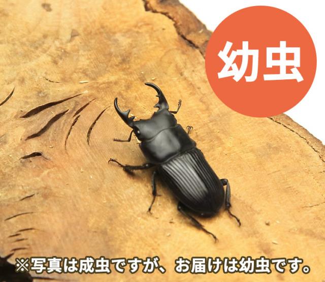 本土ネブトクワガタ幼虫 販売 通販 専門店 購入