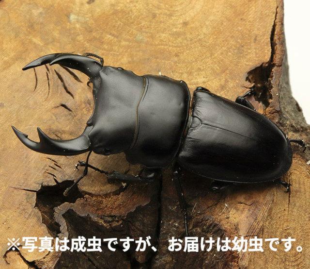 オオクワガタ幼虫 新潟県産 販売 通販 専門店 購入