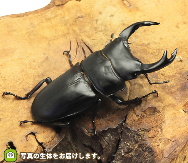オス単品 オオクワガタ 福島県南会津町産 販売 通販 専門店 購入