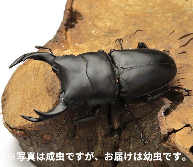 オオクワガタ 岩手県奥州市産 幼虫 販売 通販 専門店 購入