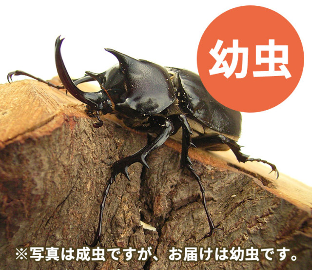 パチェコヒメゾウカブト幼虫 販売 通販 専門店 購入