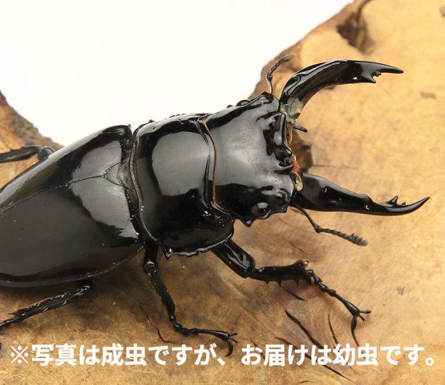 レギウス幼虫 販売 通販 専門店 購入