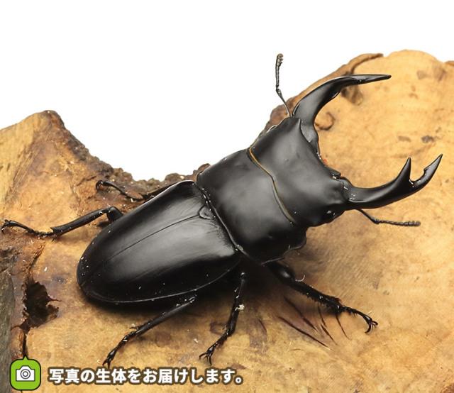 国産オオクワガタ 佐賀県神埼産 販売 通販 専門店 購入