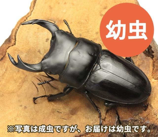 国産オオクワガタ幼虫 福島県南会津町産 販売 通販 専門店 購入