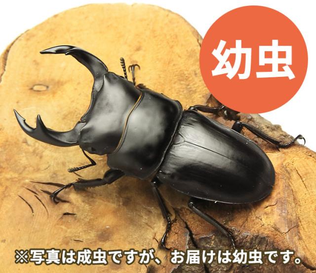 国産オオクワガタ幼虫 山形県小国町産 販売 通販 専門店 購入