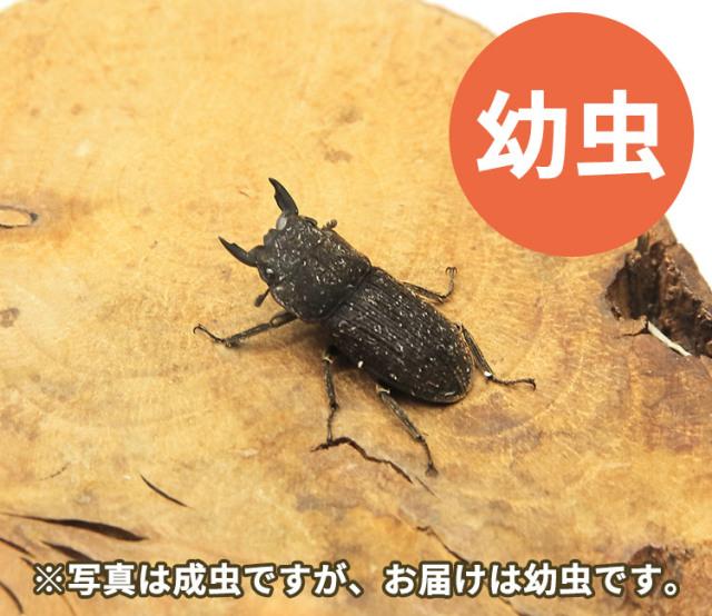 ヤマトサビクワガタ幼虫 販売 通販 専門店 購入