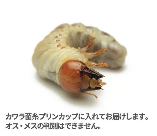 タランドス(タランドゥス)幼虫 販売 通販 専門店 購入