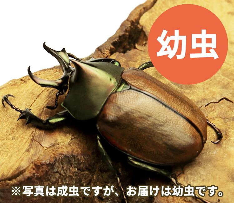 マルガリータヒナカブト幼虫 販売 通販 専門店 購入
