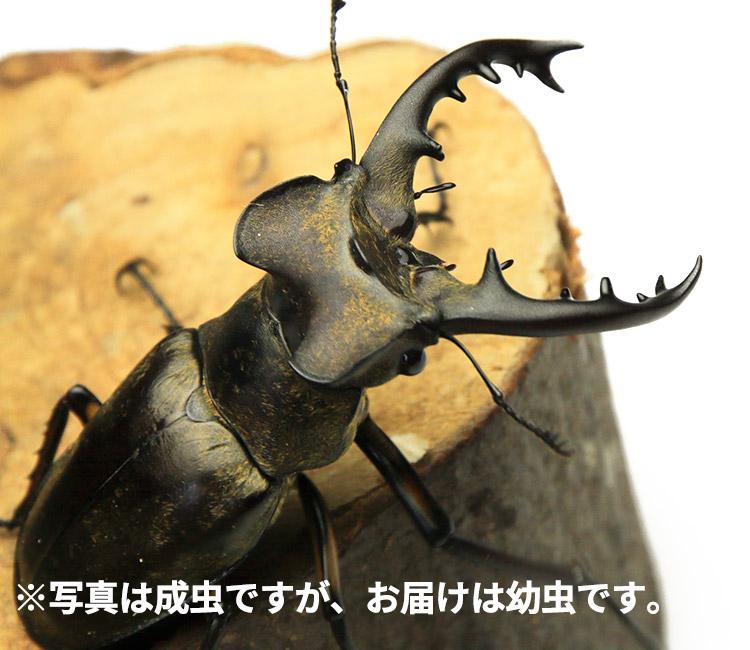 ミヤマクワガタ 幼虫 販売 通販 専門店 購入
