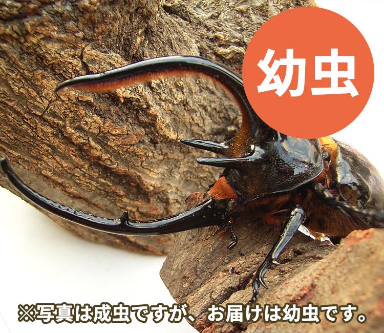 ネプチューンオオカブト幼虫 販売 通販 専門店 購入