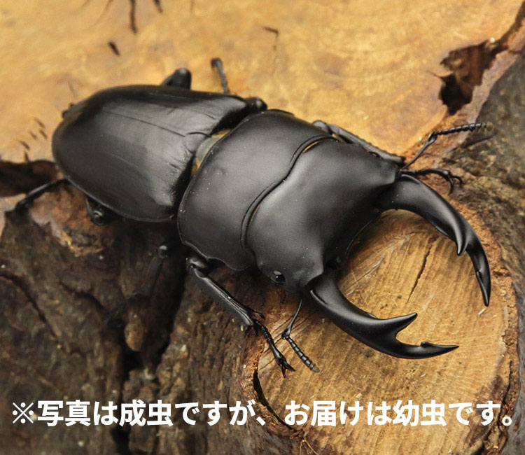 オオクワガタ幼虫 山形県産 販売 通販 専門店 購入