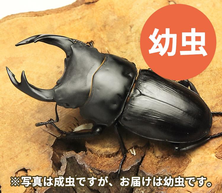 国産オオクワガタ幼虫 山形県飯豊町産 販売 通販 専門店 購入