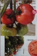 トキタ 豊作祈願015 トマト