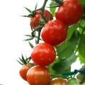 トキタ リコちゃん ミニトマト 8粒