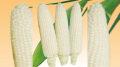 清水種苗 白い恵味 スイートコーン