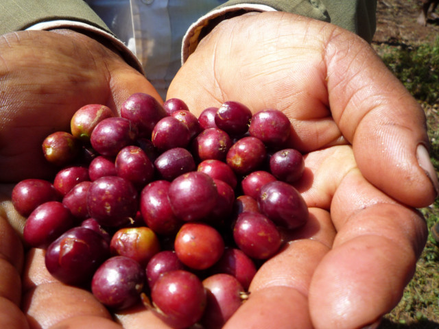 エチオピア コンガ農協 ナチュラル ミディアムロースト(浅煎り) 200g