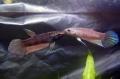 ベタ クラセンス(ジャンビ産)【♂♀ペア】~黒いシャープな大型種!~