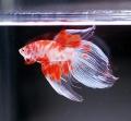 ファンシー錦鯉 ベールテール(VTKO-4)【オス】〜紅白♪〜