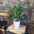 幸福の木70 光触媒 イミテーショングリーン