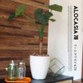 くわず芋78(alocasia odora) 光触媒 イミテーショングリーン 送料無料