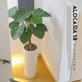 アートくわず芋1.8(alocasia odora) 光触媒 イミテーショングリーン 送料無料
