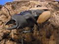 ブルマイスターツヤクワガタ♂50ミリ台 ペア 今ならカブト専用マット5L付(産卵用にご使用ください。)