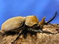 エレファスゾウカブト3令幼虫ペア+今ならカブト専用マット5L1袋付。