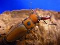 グラディアトールメンガタクワガタ幼虫3頭 アンテマット10L1袋付