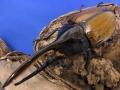 ヘラクレスオキシデンタリス128ミリペア