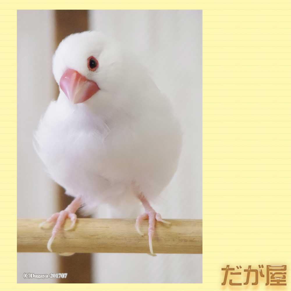 【だが屋】ポストカード/文鳥・白2