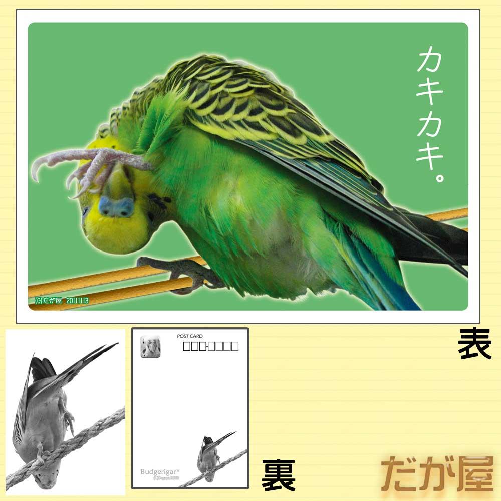 【だが屋】ポストカード/セキセイインコ3◆