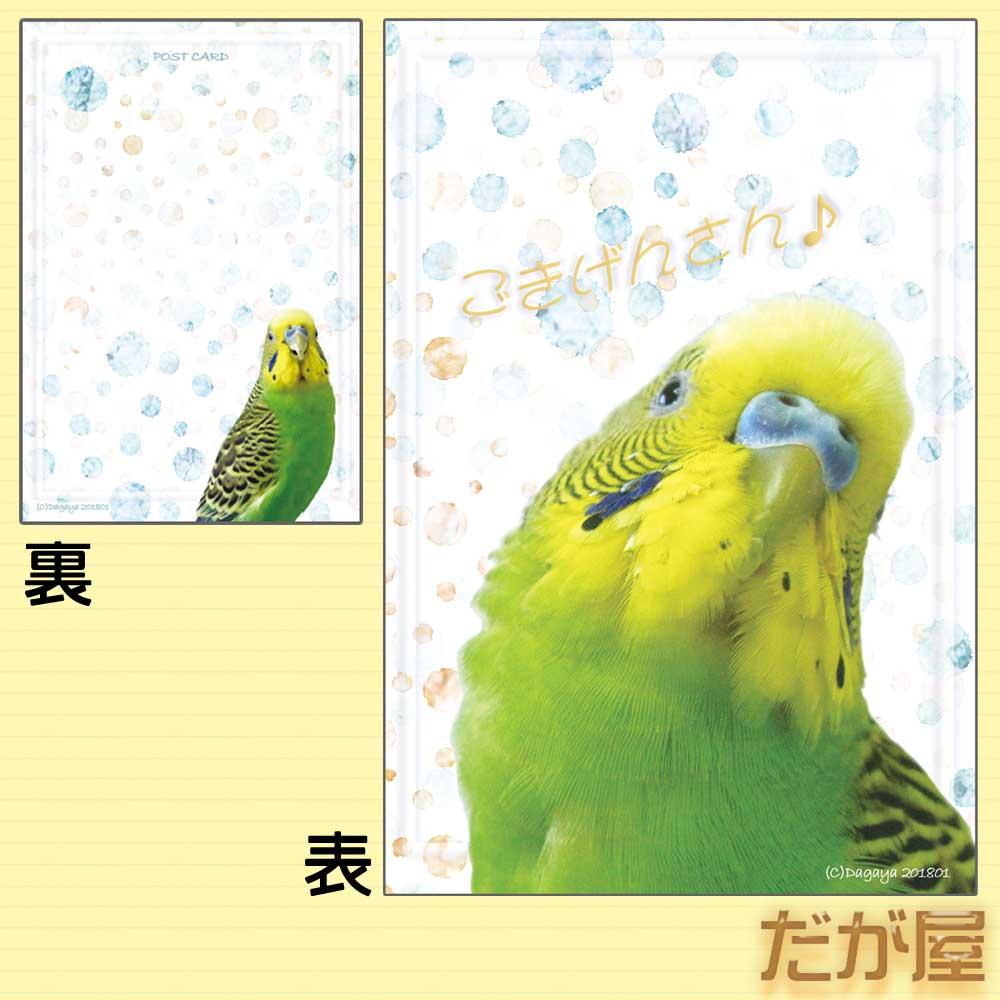 【だが屋】ポストカード/セキセイインコ12◆