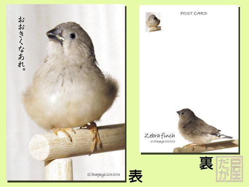 【だが屋】ポストカード/キンカチョウ12・おおきくなあれ。◆