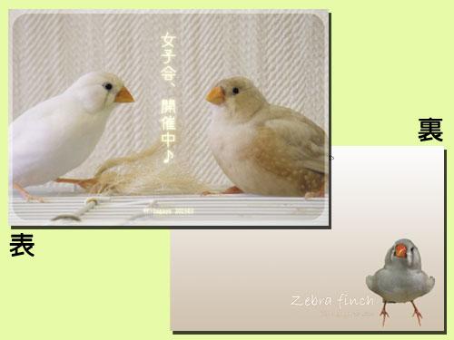 【だが屋】ポストカード/キンカチョウ13・女子会◆