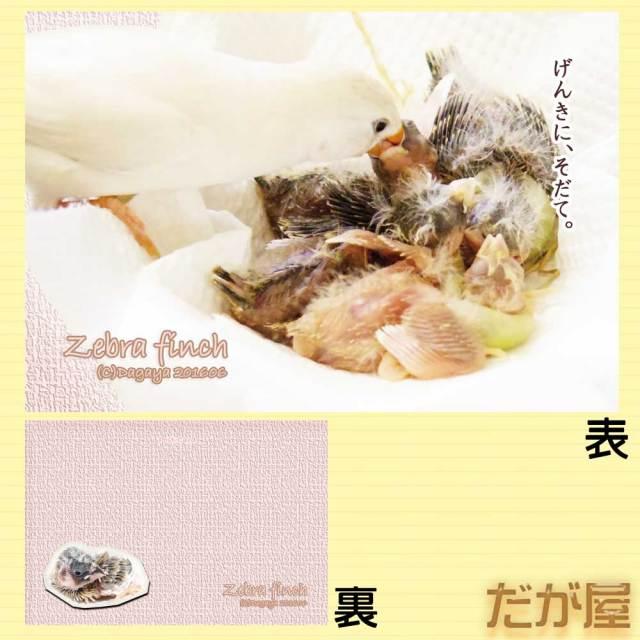 【だが屋】ポストカード/キンカチョウ21・げんきに、そだて。◆