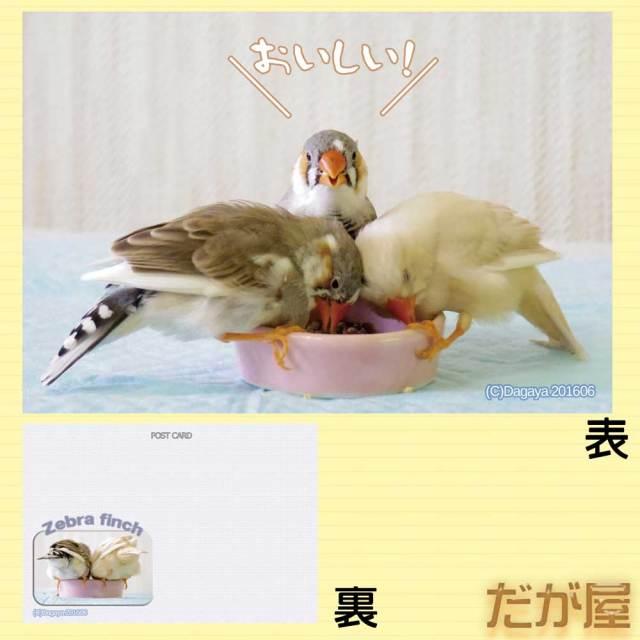 【だが屋】ポストカード/キンカチョウ24・おいしい!◆