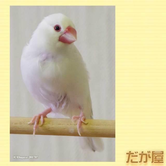 【だが屋】ポストカード/文鳥・白1