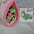 【カリーノピコ】★羊毛インコ/コザクラ・ノーマル幼鳥