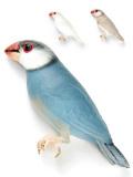 9993045【コラソン】★ピンバッチ/文鳥