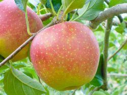 りんご 家庭用〜もぎたてのリンゴを詰合せにしてお届けします。