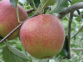 【氷蔵庫】りんご2kg ~シナノゴールド・陽光をご準備して冬までお届けします~