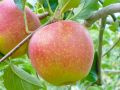 りんご 【贈答用】1~2kg ~高品質のリンゴを多品種の詰合せにしてお届けします