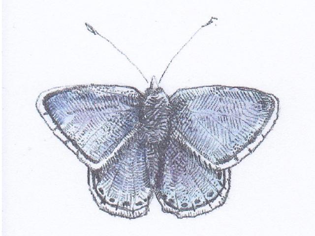 Common Blue イカルヒヒメシジミ