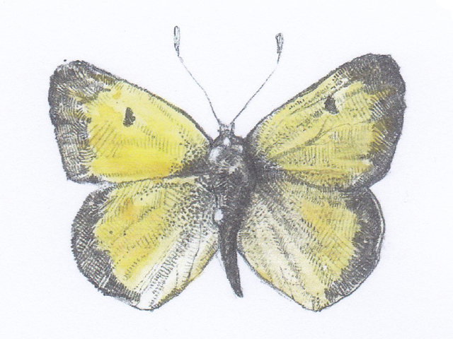 Clouded Yellow モンキチョウ