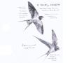 2羽のツバメ